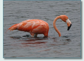Pink Flamingo in Bonaire