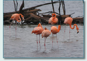 Pink Flamingoes on Bonaire