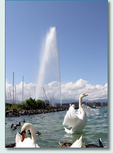 Swans and the Jet d'Eau, Geneva, Switzerland