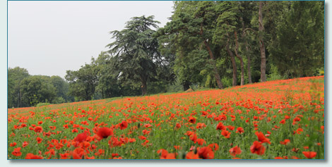 Poppy field near Nyon, Switzerland