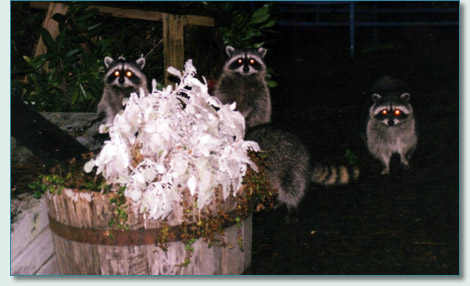 Racoons in Vacouver
